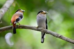 Männliches Silber-breasted Broadbill (Serilophus-lunatus) Stockbilder