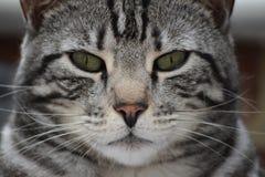 Männliches Silber u. Schwarz-Bengal-Katze Stockfoto