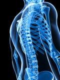 Männliches Skelett Stockbilder