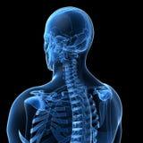 Männliches Skelett Lizenzfreies Stockfoto