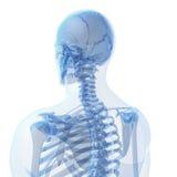 Männliches Skelett Stockfoto