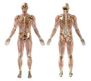 Männliches Skelett mit den Semi-transparent Muskeln Lizenzfreie Stockfotografie