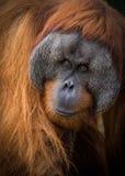 Männliches Sumatran-Orang-Utan Porträt Stockfotografie
