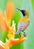 Männliches Sunbird hockte auf Heliconia Blume stockbilder