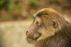 Männliches tibetanisches Makaken-Kopf-Profil Lizenzfreies Stockfoto