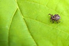 Männliches Tick Meadow Dermacentor-reticulatus Lizenzfreies Stockfoto