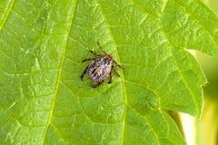 Männliches Tick Meadow Dermacentor-reticulatus Lizenzfreie Stockfotografie