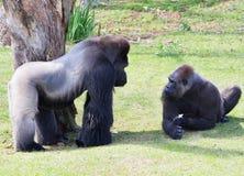 Männliches und weibliches Silverback-Gorilla ` s, das entlang einander anstarrt Stockfoto