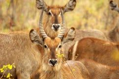 Männliches und weibliches waterbuck Lizenzfreies Stockfoto