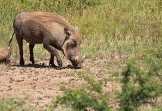 Männliches Warthog im Gras Stockbild