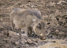 Männliches Warzenschwein, das von der Schlammpfütze trinkt stockbilder