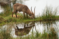 Männliches Waterbuck, das neben Wasserstelle in Kruger-Park weiden lässt Stockbild