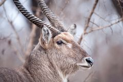 Männliches Waterbuck (Kobus ellipsiprymnus) Lizenzfreies Stockbild