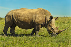 Männliches weißes Rhinocerous Grasen Lizenzfreie Stockfotografie