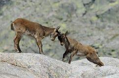 Männliches wildes in den Bergen Stockfotos