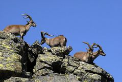 Männliches wildes in den Bergen von Gredos Lizenzfreies Stockfoto
