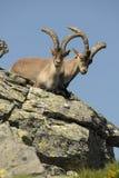 Männliches wildes in den Bergen von Gredos, Avila, Stockbild