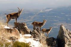 Männliches wildes in den Bergen von Gredos, Avila, Lizenzfreie Stockfotos
