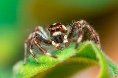Männliches Zwei-gestreiftes springendes Spinne Telamonia-dimidiata, Salticidae, das auf ein grünes Blatt stillsteht und kriecht lizenzfreie stockfotografie