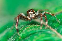 Männliches Zwei-gestreiftes springendes Spinne Telamonia-dimidiata, Salticidae, das auf ein grünes Blatt stillsteht und kriecht lizenzfreie stockbilder