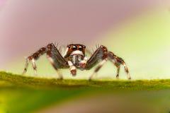 Männliches Zwei-gestreiftes springendes Spinne Telamonia-dimidiata, Salticidae, das auf ein grünes Blatt stillsteht und kriecht lizenzfreies stockfoto