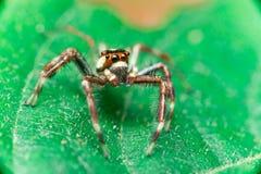 Männliches Zwei-gestreiftes springendes Spinne Telamonia-dimidiata, Salticidae, das auf ein grünes Blatt stillsteht und kriecht lizenzfreies stockbild