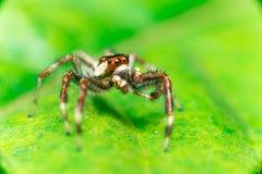 Männliches Zwei-gestreiftes springendes Spinne Telamonia-dimidiata, Salticidae, das auf ein grünes Blatt stillsteht und kriecht stockfoto