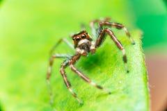 Männliches Zwei-gestreiftes springendes Spinne Telamonia-dimidiata, Salticidae, das auf ein grünes Blatt stillsteht und kriecht stockfotografie