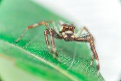 Männliches Zwei-gestreiftes springendes Spinne Telamonia-dimidiata, Salticidae, das auf ein grünes Blatt stillsteht und kriecht stockbild