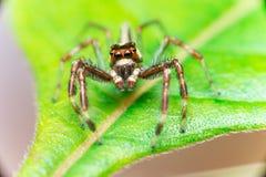 Männliches Zwei-gestreiftes springendes Spinne Telamonia-dimidiata, Salticidae, das auf ein grünes Blatt stillsteht und kriecht lizenzfreie stockfotos