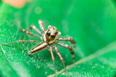 Männliches Zwei-gestreiftes springendes Spinne Telamonia-dimidiata, Salticidae, das auf ein grünes Blatt stillsteht und kriecht stockfotos