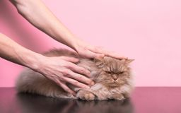 Mäns händer slår en ond katt på en rosa bakgrund Mannen som slår en katt, en katt, gillar inte den royaltyfri foto