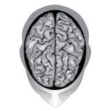 mänsklig övre sikt för hjärna Arkivbild