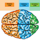 mänsklig övre sikt för hjärna Arkivfoton