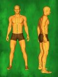 Mänsklig akupunkturmodell Arkivfoton