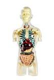 Mänsklig anatomi Arkivfoton