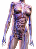 Mänsklig anatomi stock illustrationer
