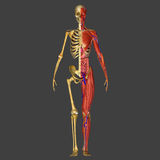 Mänsklig anatomi Royaltyfri Foto