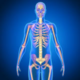 Mänsklig anatomi Royaltyfri Bild