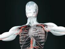 Mänsklig anatomi Royaltyfria Foton