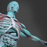 Mänsklig anatomi Färger science, konst Royaltyfria Bilder