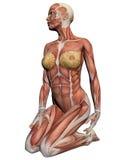 Mänsklig anatomi - kvinnligmuskler Arkivfoto