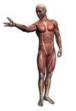 Mänsklig anatomi - manmuskler royaltyfri illustrationer