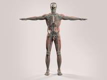 Mänsklig anatomi med främre sikt av den fulla kroppen Royaltyfri Foto