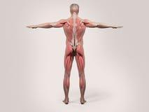 Mänsklig anatomi med tillbaka sikt av den fulla kroppen Royaltyfria Foton