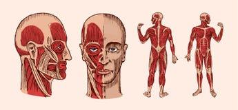 Mänsklig anatomi Muskulös och bensystem av huvudet Medicinsk vektorillustration för vetenskap, medicin och biologi manlig vektor illustrationer