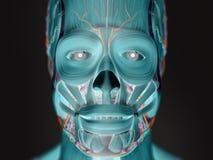 Mänsklig anatomi röntgenstråle-som sikt av framsidan Royaltyfri Fotografi