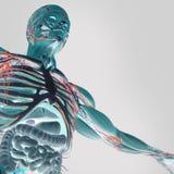 Mänsklig anatomi röntgenstråle-som sikt av magen och inälvor Arkivbild