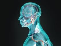 Mänsklig anatomi röntgenstråle-som sikt av profilen Arkivfoto