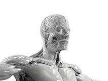 Mänsklig anatomi som visar bottenläget sikt för tre fjärdedel av framsidan, och torson i porslin avslutar sig Royaltyfri Bild